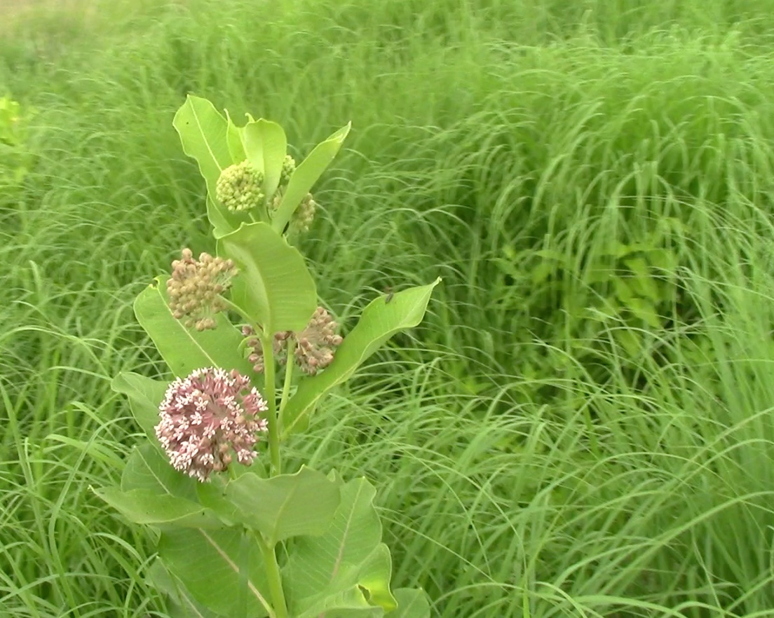 5 things to spot on jjc's nature trails jjc joliet junior college wildflowers prairie plants
